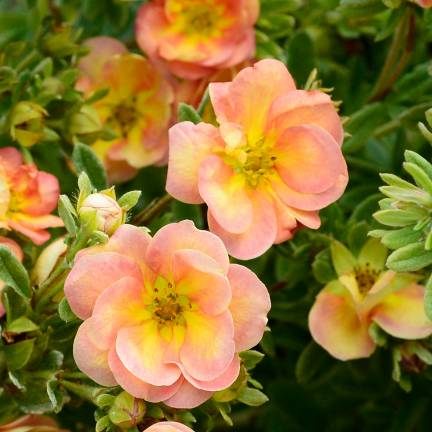 Potentille fruticosa Double Punch® Peach 'MINJARO01'