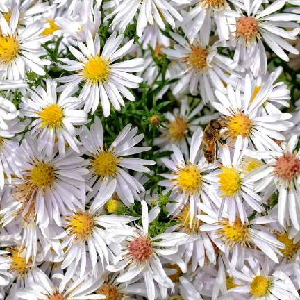 Aster grand d'automne novae-angliae Herbstschnee
