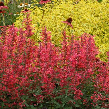 Agastache Kudos Red®