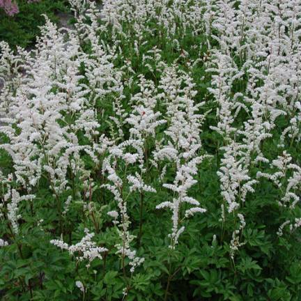 Astilbe d'Arends Mont Blanc