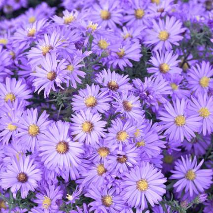 Aster d'automne dumosus Lady In Blue