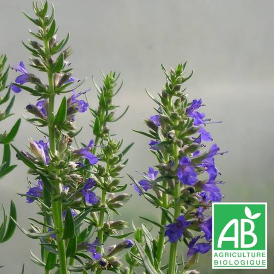 Hysope officinalis naine
