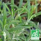 Romarin officinalis BIO