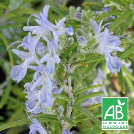 Romarin officinalis Primley Blue BIO