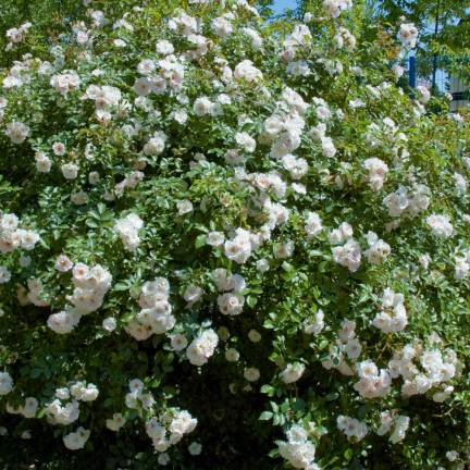 Rosier arbustif Ice Meillandecor® 'Meivahyn'
