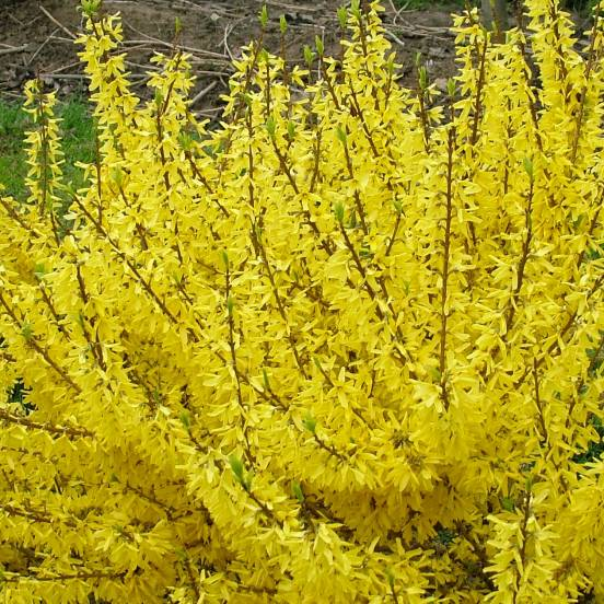 Forsythia de Paris x intermedia Casque d'Or® 'Coudijau'