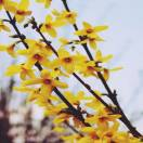 Forsythia de Paris x intermedia Spring Glory
