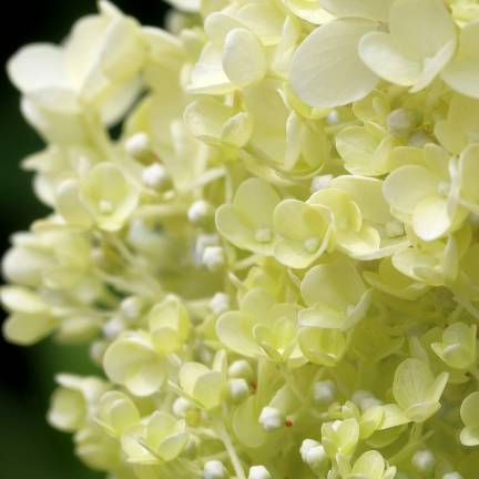 Hortensia paniculata Little Lime® 'Jane'