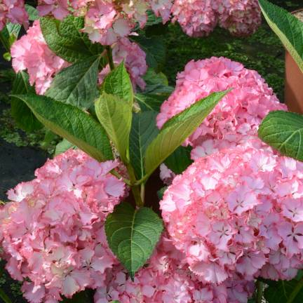Hortensia macrophylla So Long® Sunny 'TK02'