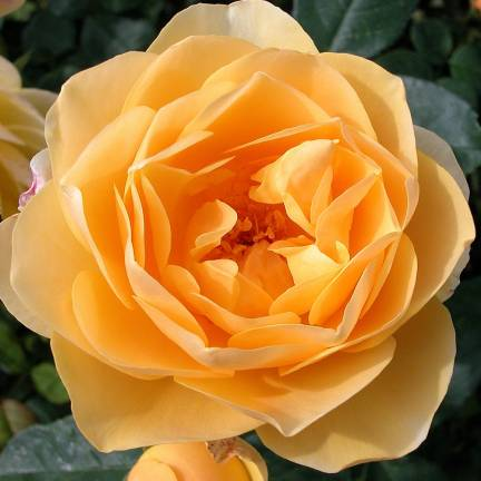 Rosier arbustif Graham Thomas® 'Ausmas'