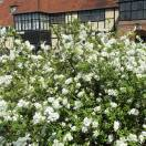 Exochordes x macrantha The Bride